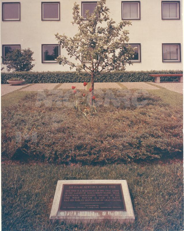 Newton Apple Tree 002