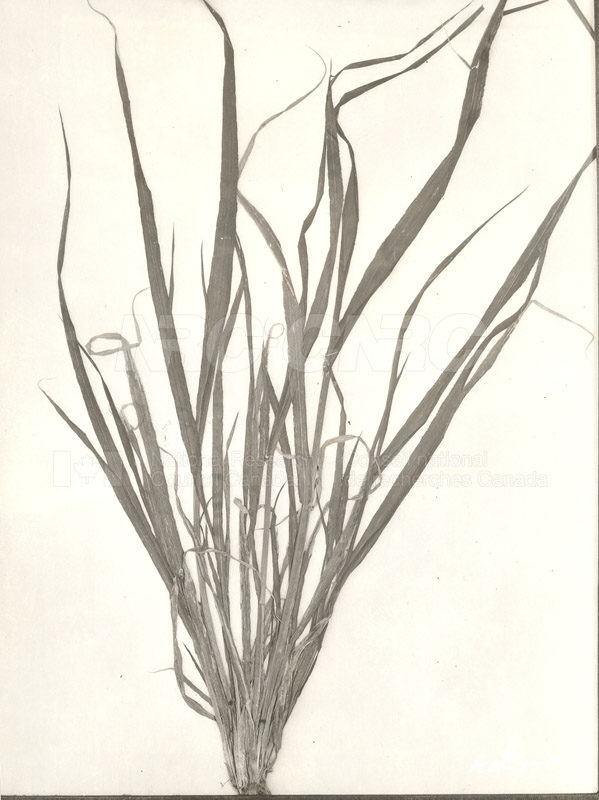 Division of Biology and Agriculture- Diseased Barley Plants (KK-77a) c.1933