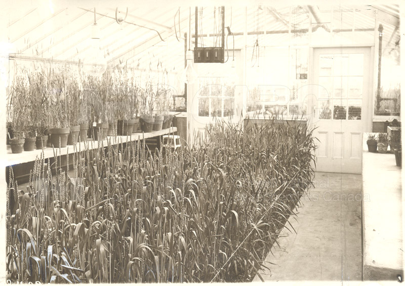 Wheat Research- University of Alberta- Greenhouse with Hybrids c.1930
