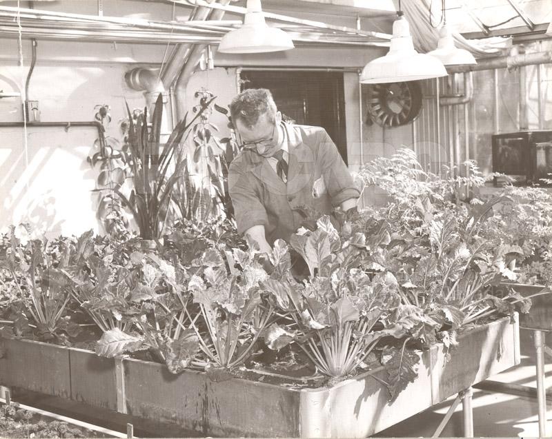 Sugar Beet Growth 1954