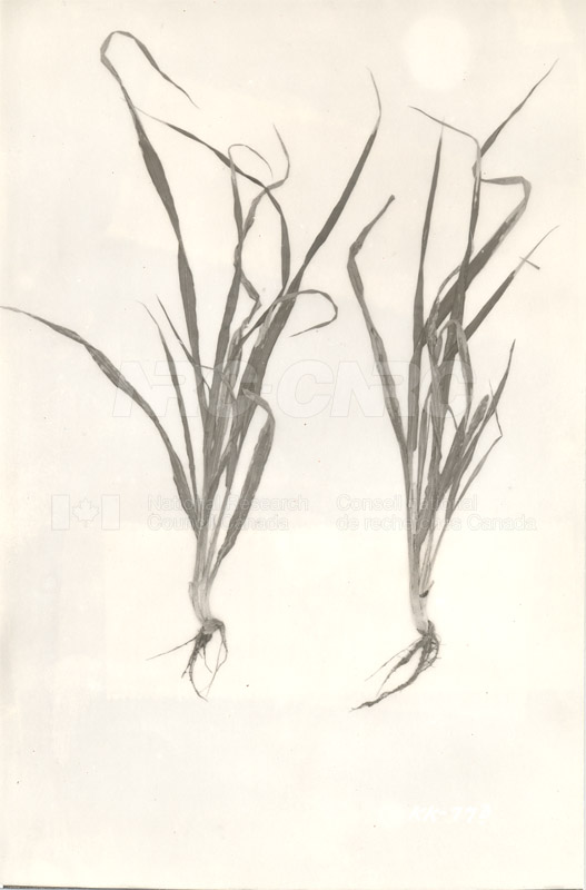 Division of Biology and Agriculture- Diseased Barley Plants (KK-77b) c.1933