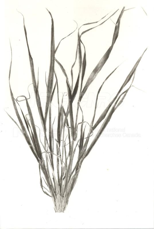 Diseased Barley Plants c.1933 003
