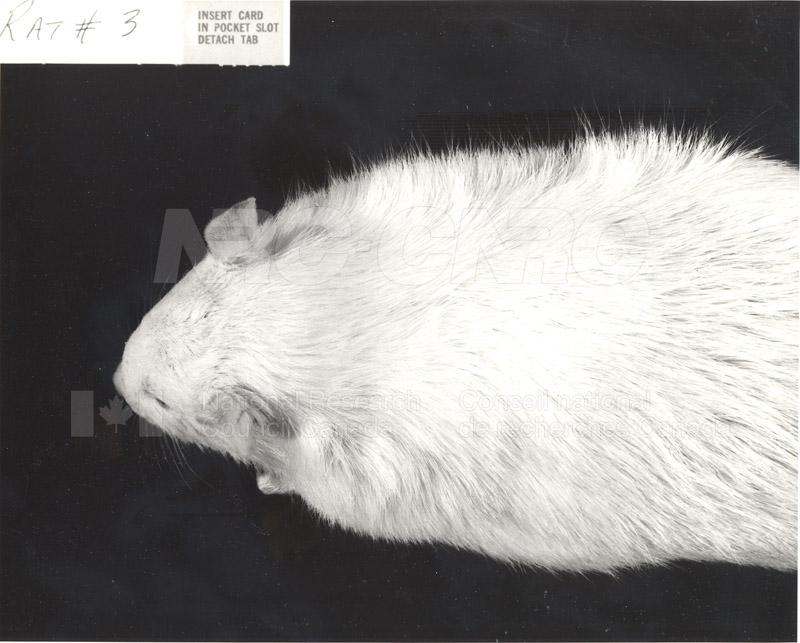 Rat #2, Rat #3 002