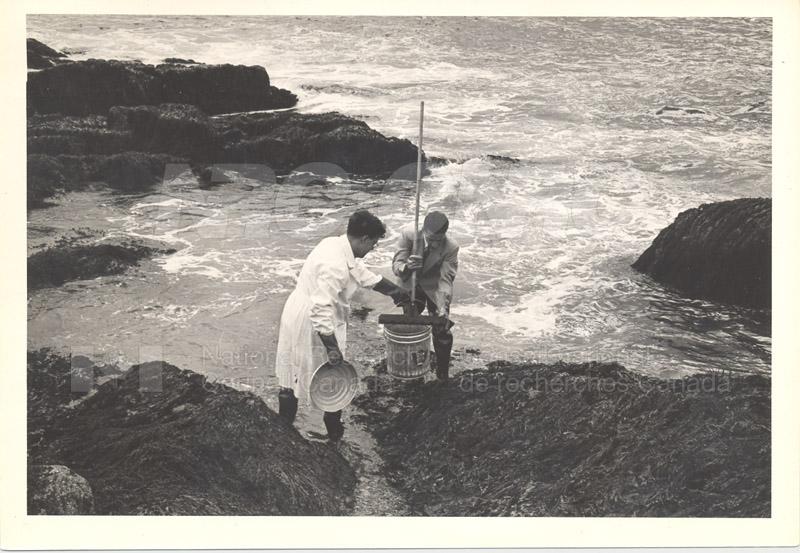 Collecting Red Algae (Irish Moss) Terrance Bay 1956