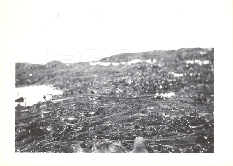 Laminarias- St. John's Ledge 1949 002