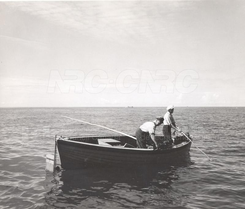 Carageen- 'Irish Moss', PEI c.1946 005